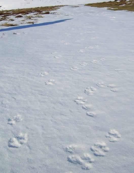 Huellas de lobo detectadas en Picos por los guardas.
